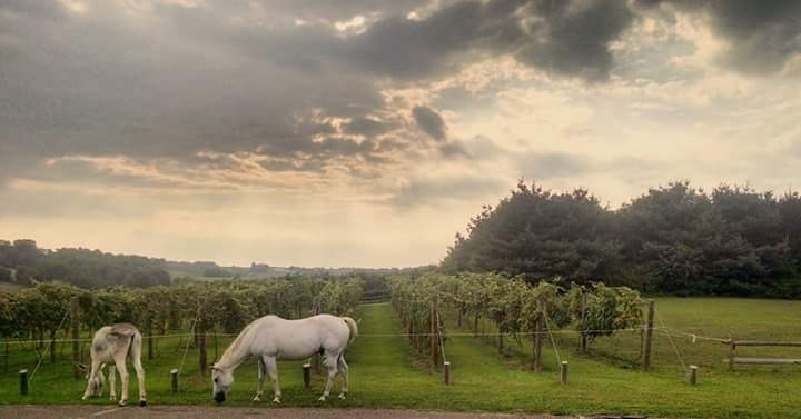 Horses near the vineyard at Guggisberg Swiss Inn